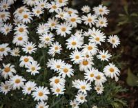 White Daysies Flowers with Yellow Center in Garden.JPG