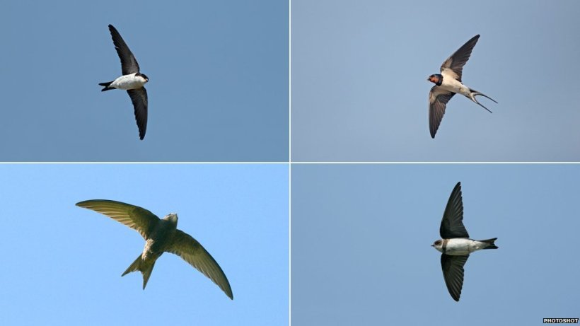 _67703821_swift_swallow_martins-1.jpg